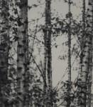 image - Darcy Mann's Poplars