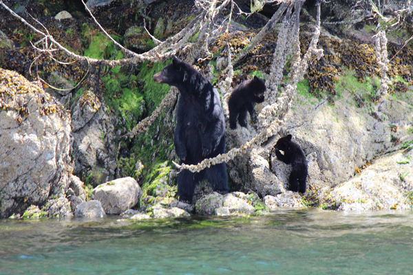 photo - Bear essentials: A mother and her cub stake out the shoreline in Clayoquot Sound near Tofino
