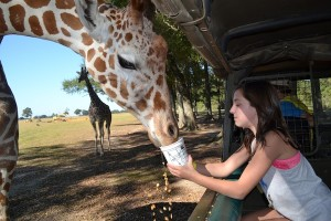 photo - The author's daughter feeds zebras and a Somali giraffe at the Global Wildlife Centre in Folsom, La.