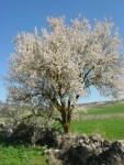 photo - Tu b'Shevat, the New Year of the Trees, coincides with the flowering of the almond tree in Israel