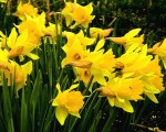 photo - Daffodils herald the springtime – and the approach of Passover