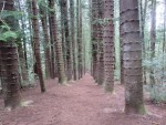 photo - The path to Nounou Mountain is a gentle incline through a forest of magnificent Norfolk pine trees