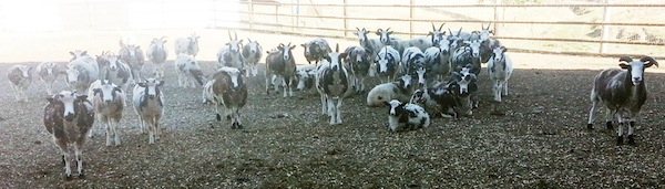 photo - The Lewinskys' flock of Jacob sheep now stands at about 70