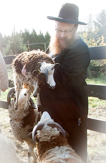 "photo - Rabbi Falik Schtroks holds Moshe, while Isaac and Solomon look on. The Jacob sheep's ""shepherds,"" Gil and Jenna Lewinsky, are trying to get their flock back home to Israel"