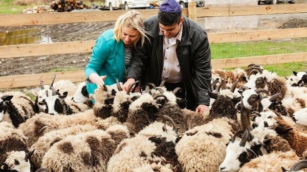 El Al aids sheep