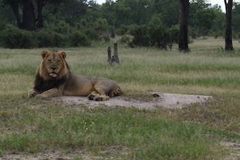 photo - A lion relaxes in Zimbabwe's Hwange National Park