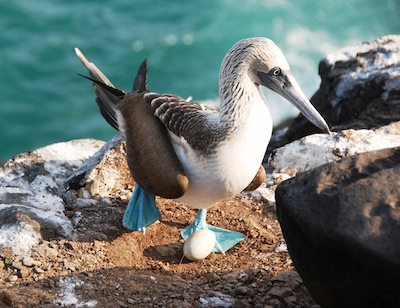 photo - Joanne Emerman tries to get as close to the animals as she can with her camera, as is evidenced by this blue-footed booby photo
