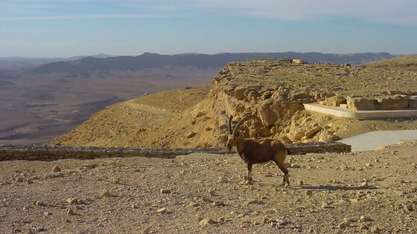 photo - An ibex at the Ramon Crater