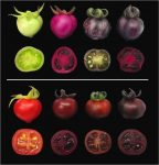 photos - Unripe (top) and ripe (bottom) tomatoes. Regular tomatoes (far left) start out green (far left top) and turn red when ripe (far left bottom). In contrast, genetically engineered tomatoes assume different shades of red-violet, depending on whether they produce betalains (the column second from left), pigments called anthocyanins (second from right) or betalains together with anthocyanins (far right)