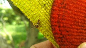 photo - A fruit fly feeding in a Biofeed lure