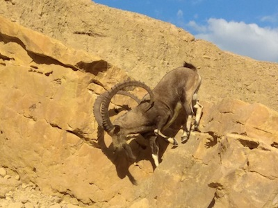 photo - Hopefully travelers will see some of the Shvil's residents, such as mountain goats, which have their babies in the spring