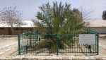 "photo - The date palm Methuselah ""is a big boy now"""
