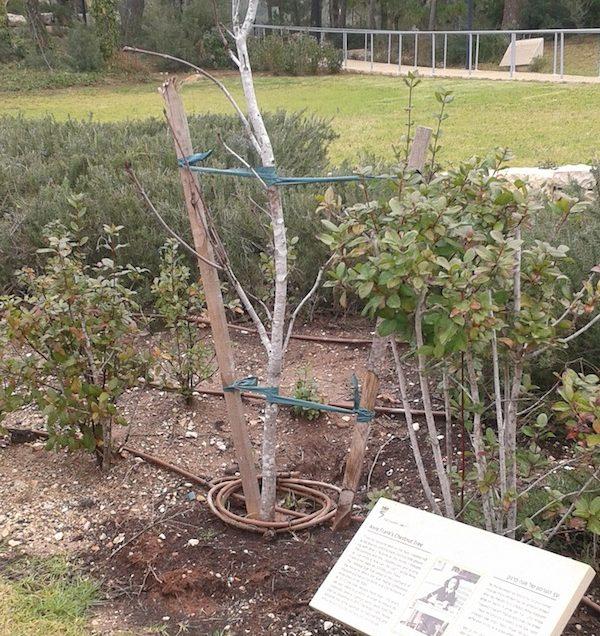 A sapling grows in Jerusalem