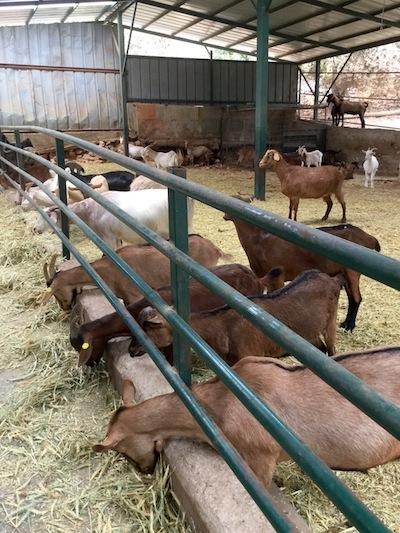 photo - Mizpe Hayamim goats