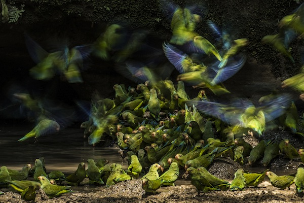 "photo - Cobalt-winged parakeets. ""To get this photo,"" said Liron Gertsman, ""I waited for hours three days in a row in a blind in the hot and humid rainforest of Yasuni National Park in Ecuador"""