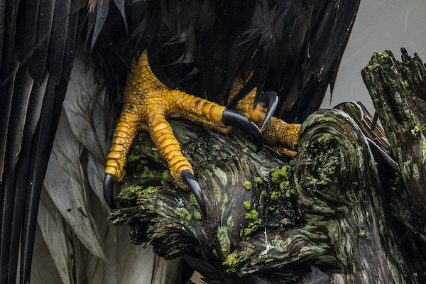 "photo - The talons of a wild bald eagle, photographed on the southwest coast of British Columbia. ""It was sitting near a popular walking trail, so perhaps it was used to attention from its human admirers,"" said Liron Gertsman"