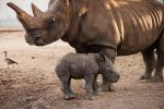 New rhino born