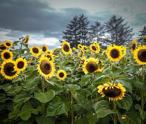 """photo - """"Sunflowers"""" by Jocelyne Hallé"""