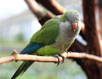 photo - a monk parrot
