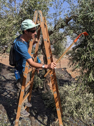 photo - Raking trees in an olive orchard, somewhere between Duma and Kafr Malik, West Bank, Palestine
