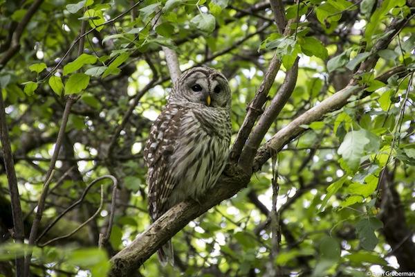 """photo - """"Owl"""" by Evan Groberman"""