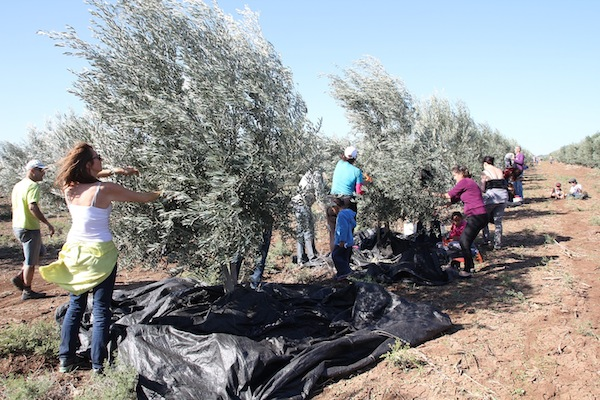 Olive trees have long history