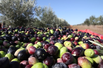photo - Close-up of freshly picked olives in Sindyanna's fair trade grove in Emek Yizrael