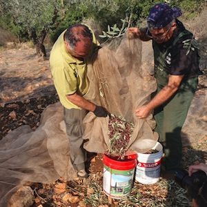 photo - Two men loading freshly picked olives in the organic grove of the Galilee's Kfar Deir Hanna, November 2020