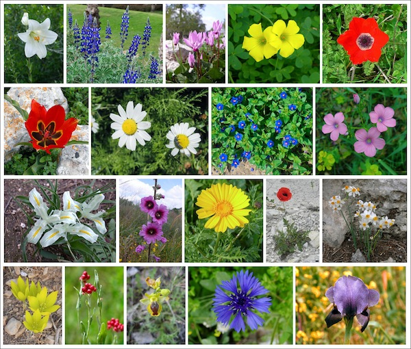 photo - A collage of Israeli wildflowers
