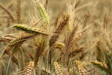 photo - In biblical times, barley was used as fodder for donkeys and horses so, if a person ate barley, it was a sign they were poor