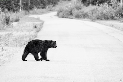 photo - It took a few hours of searching before Micah Groberman came across this bear and took its picture