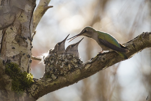 photo - Micah Groberman's photo of a hummingbird feeding her babies was featured on CBC
